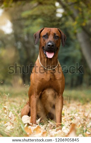 brown dog Rhodesian Ridgeback with open mouth and tongue out sitting in autumn leaves