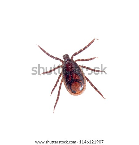Brown dog tick, Rhipicephalus sanguineus isolated on white background. Dog risk for many conditions including babesiosis, ehrlichiosis, rickettsiosis, and hepatozoonosis. Stock photo ©