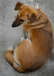 Brown dog with black mouth lying on the concrete floor of the building by the sea