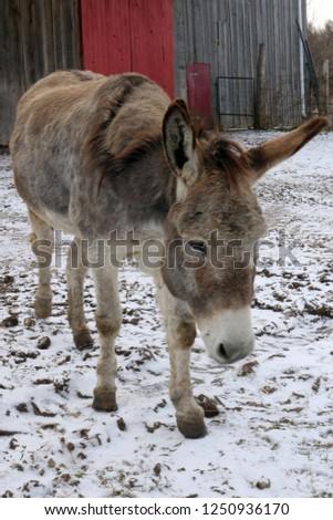 Brown Donkey in Barnyard