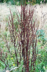 brown dry seeds at a wilted sorrel plant in an uncultivated meadow