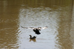 Brown duck flying, coming in for landing in suburban wetlands brown murky lake pond, sunny summer day. Action shot.