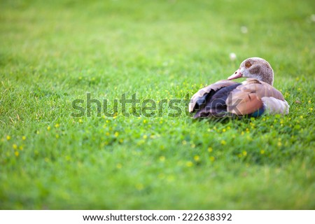 Brown duck in the grass with copyspace on left side.