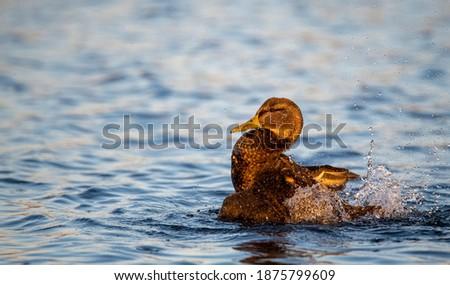 Photo of  Brown Duck Waterfowl Splashing in Blue Lake Water Warm Lighting