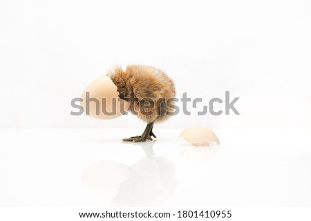 brown egg and chicken isolated on a white background,Small chicks and egg shells. Stockfoto ©