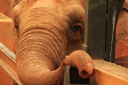 brown elephant trapped in cage