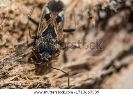 Brown elm bug in macro. Insect with red eyes  and black dots on body. Closeup photo with blurred background. Stock fotó ©