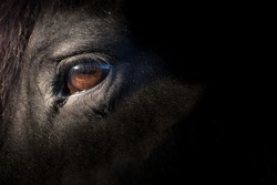 Brown eye of a black Friesian horse, lit by the sun. Focus on the eye lashes. Space for text on the black right side of the photo