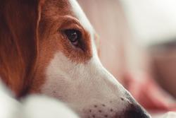 Brown eyes red white dog close up