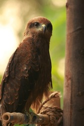 brown falcon or hawk siting on the bamboo stand