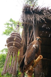 brown falcon or hawk siting on the bamboo stand in front of the hut.