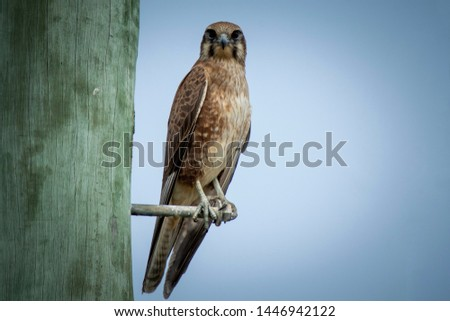 Brown Falcon perched and posing for a picture before taking flight