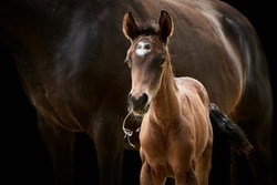 Brown filly foal standing close to mare. Animal mother and thoroughbred baby horse in beautiful light and isolated on black.