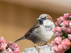 Brown finch perched on a fence with a brown creamy background and pink floral foreground.  Nature, wildlife, animal, bird, beauty, no person.