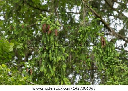 Brown fir cones on a fir tree with green fresh fir needles in Upper Bavaria  #1429306865
