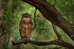 Brown Fish-owl, Ketupa zeylonensis, rare bird from Asia. Indian beautiful owl in nature forest habitat. Bird from Ranthambore, India.