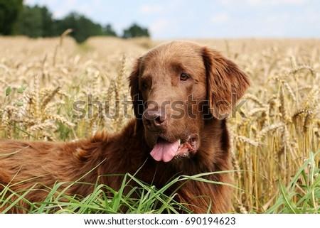 brown flat coated is lying in a corn field #690194623