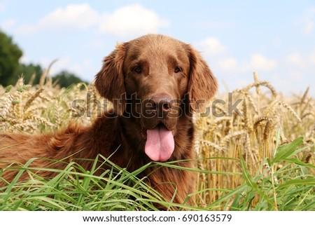 brown flat coated retriever is lying in a corn field #690163579