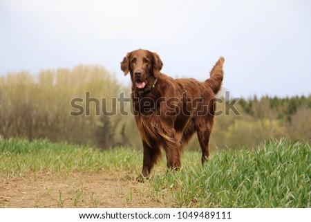 brown flat coated retriever is standing on a green field #1049489111