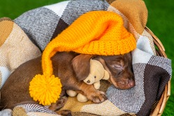 Brown flowering dachshund puppy sleeping on brown plaid with a teddy bear hugging and a yellow cap on my head