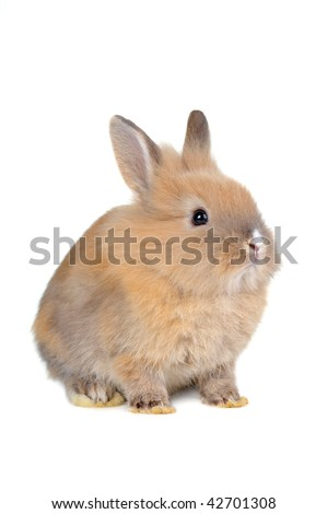 brown  fluffy rabbit sits isolated - stock photo