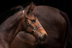 brown foal in bridle against the background of a mare