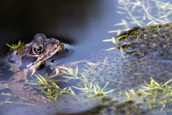 Brown frog and frog spawn