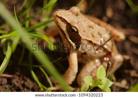 brown frog close-up sits on the ground among the blades of grass #1094320223