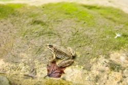 Brown frog on a stone at the mountain near the river.