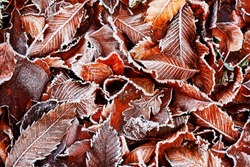 Brown Frozen leaves background texture symbolizing winter mornings