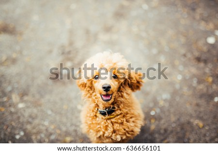 Brown funny poodle puppy sitting on the ground and looking up. Close-up of brown funny poodle head. #636656101