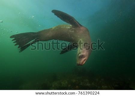 brown fur seal, arctocephalus pusillus, South Africa #761390224