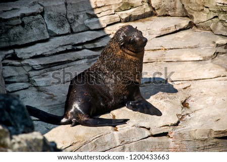 Brown fur seal. Picture made in 2009. Captive animal.
