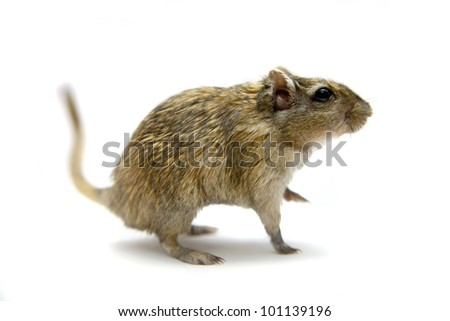 Brown gerbil, isolated on white background