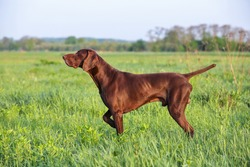 Brown German Shorthaired Pointer. A muscular hunting dog is standing in a point in the field among the green grass. A spring sunny day.