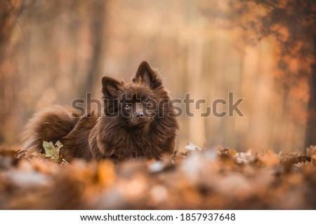 brown German Spitz Mittel portrait photography  Stock foto ©