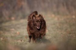 brown German Spitz Mittel  -running dog