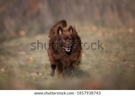 brown German Spitz Mittel  -running dog Stock foto ©