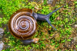 Brown glass small air-breathing land snail (Mollusca: Gastropoda: Gastrodontoidea: Oxychilidae: Oxychilinae: Oxychilus draparnaldi) crawling on a rock with green mold, amber shell and blue grey body