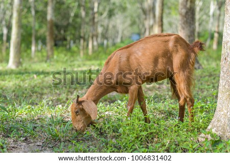 Brown goat in field, free. Steep goats.Goats eating grass,Goat on a pasture,Little goat portrai #1006831402