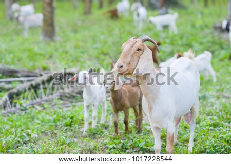 Brown goat in field, free. Steep goats.Goats eating grass,Goat on a pasture,Little goat portrai #1017228544