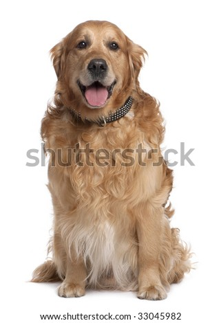 Brown Golden Retriever panting (7 years old) in front of a white background