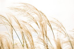Brown golden tall grass grains wheat blowing in the wind against a white sky simple natural outdoors light bright