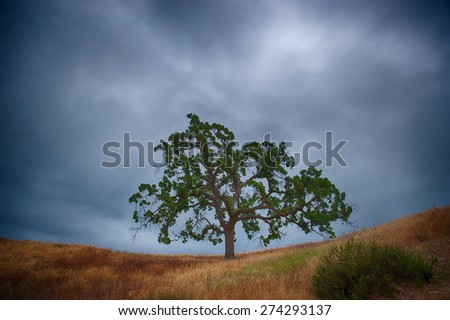 Brown grass and a green live oak tree under the gray clouds of a dark sky.
