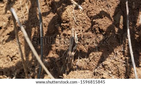 Brown grasshopper in brown soil