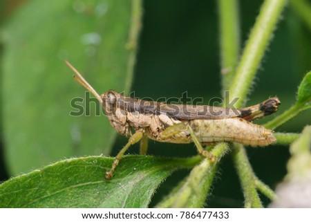 Brown grasshopper on grass flower tree. #786477433