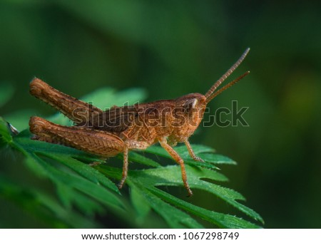 brown grasshopper on leaf #1067298749