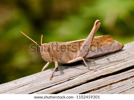 Brown Grasshopper on Wooden Beam