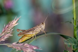Brown grasshopper sitting on a green leaf macro photography in summertime. Common field grasshopper sitting on a plant in summer day close-up photo. Macro insect on a green background.