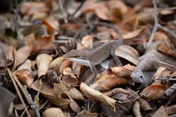 Brown green anole lizard in dead leaves